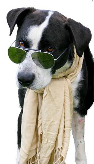 Picture of Barley, a dog with glasses.